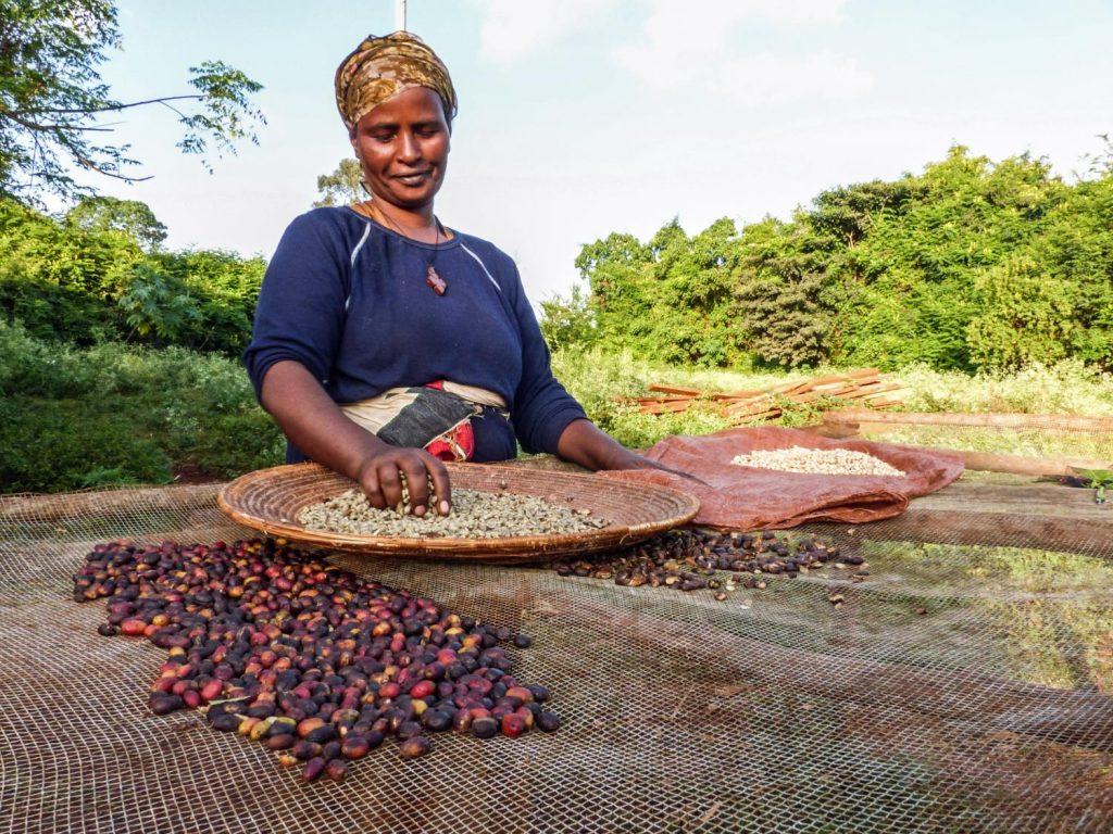 Etióp kávé szelektálás