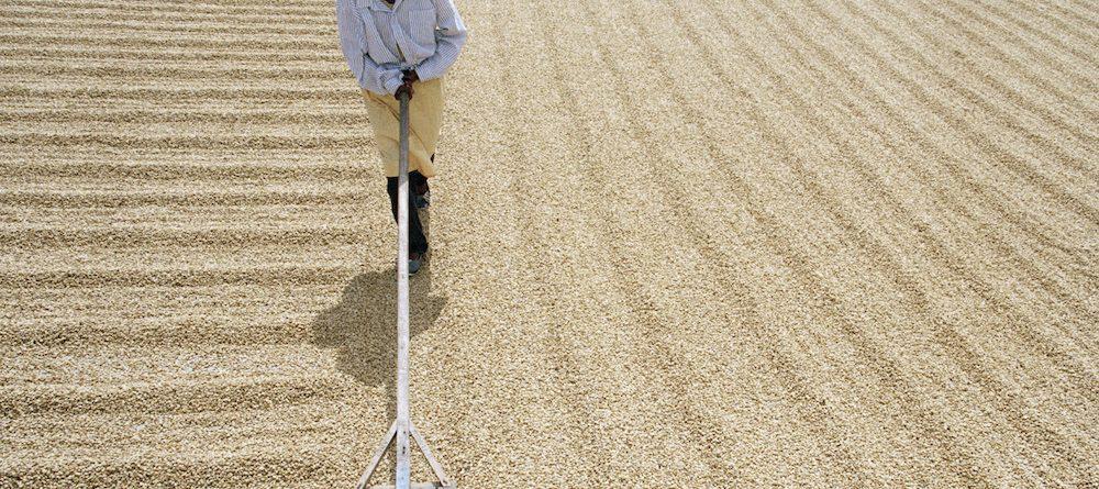 A kávé szárítása