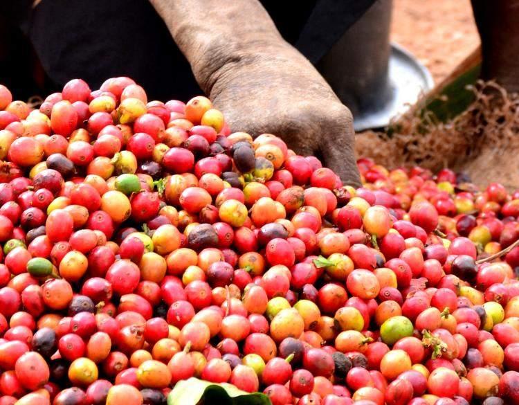 Frissen szüretelt kenyai kávé