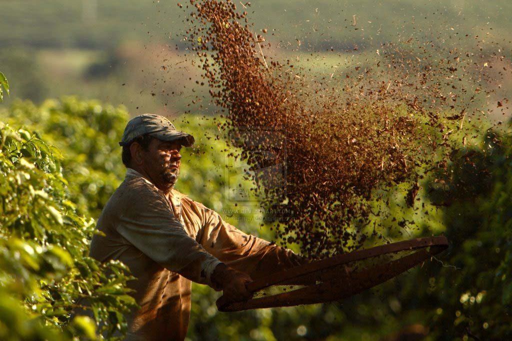 Braziliai kávé munkás kávét szitál